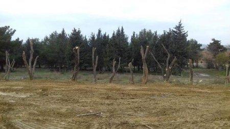Ağaclar kəsilməyib, başqa əraziyə köçürülüb - Açıqlamalar